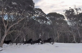Call for halt to brumby cull