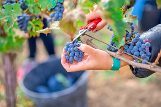 Labor finally delivers seasonal workers after harvest is done
