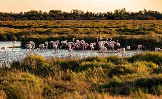 Pink flamingos flock in record numbers to reserve in the South of France
