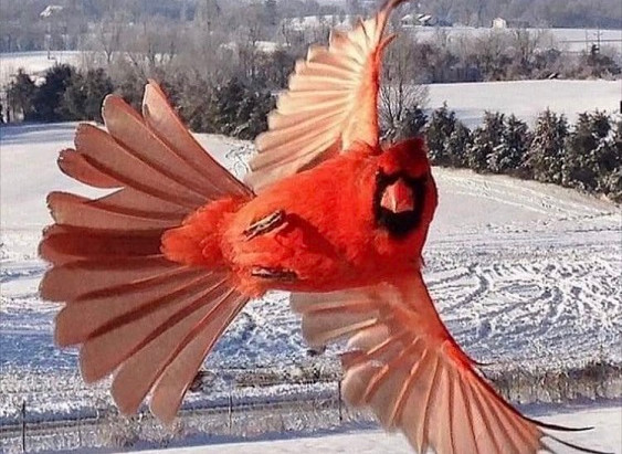 The Powerful Signs of Red Cardinals