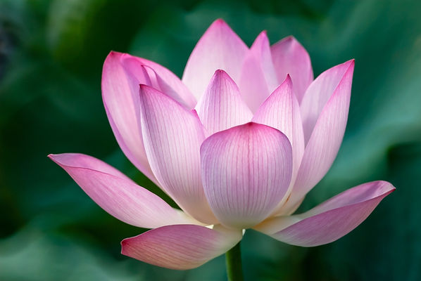 shutterstock Lotus Flower.jpg