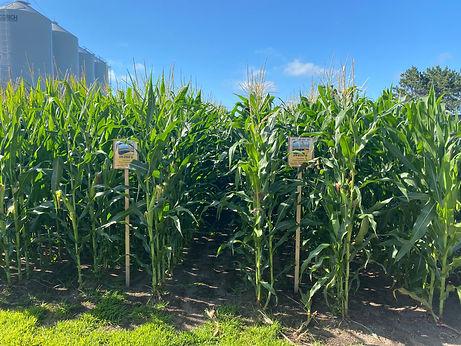corn22.jpeg