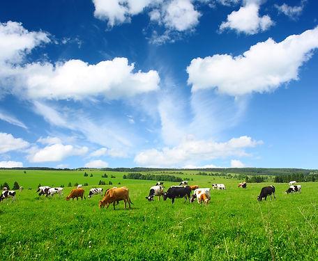 CowsFields.jpg