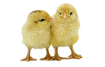 baby chick_clipped_rev_1.png