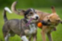 dogs playing.jpg