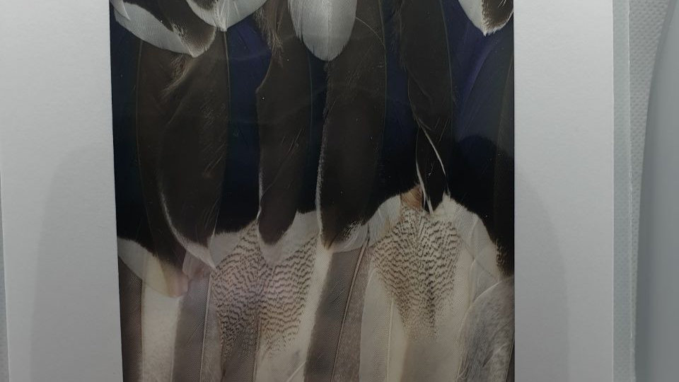 Mallard Feather Greetings Card