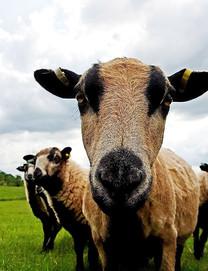 Welsh Badger Faced Sheep