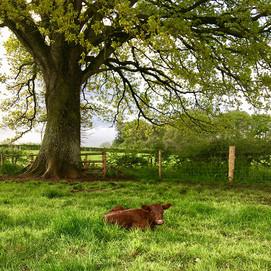 Resting under an Oak Tree