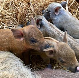 This year's Mangalitsa Piglets