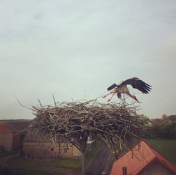 Storks during dispersal - scholarship from NAWA, again