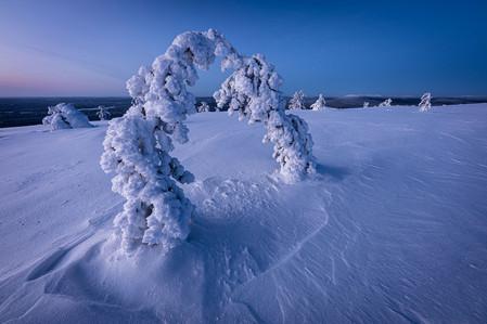 Sapins pliés sous le poids de la neige pendant un voyage photo en Laponie