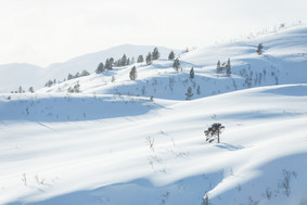 The pine tree in the fresh snow