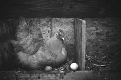 poule et son oeuf