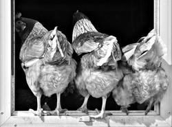 3 culs de poules