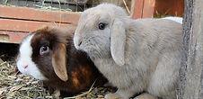 Lapins nains bélier minilop oreilles droites