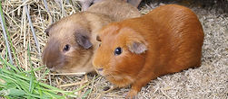 Cochons d'Inde Teddy US - CH , Abyssinien