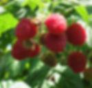 Raspberry patch & Jam 005.jpg