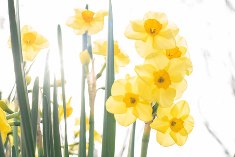 Spring Daffodils Tracey Medcalfe Photography