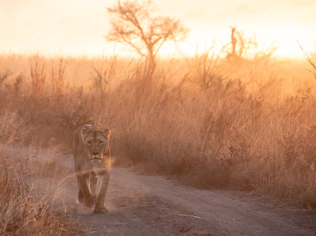 Nambiti Safari Tracey Medcalfe Photography