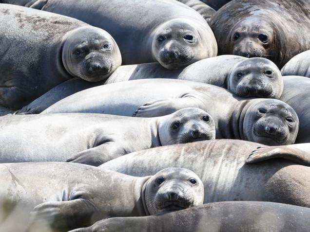 Ano Nuevo Seals Tracey Medcalfe Photography