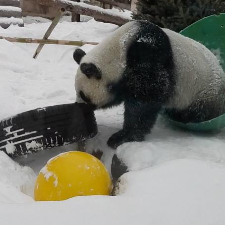 莫斯科动物园发布中国大熊猫雪中撒欢视频