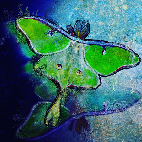 Luna Moth Sees Its Reflection