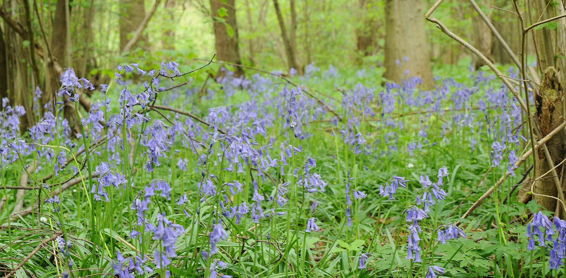 Close up bluebells.JPG