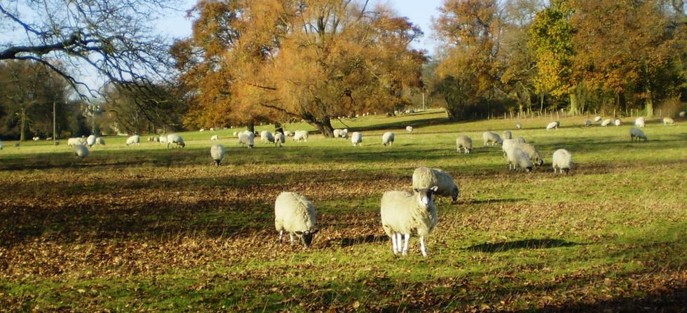 Rauceby Sheep.JPG