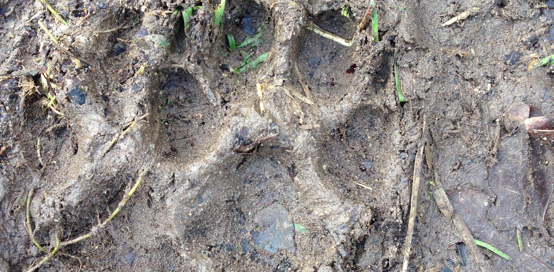 Bear Hunt Track.jpg