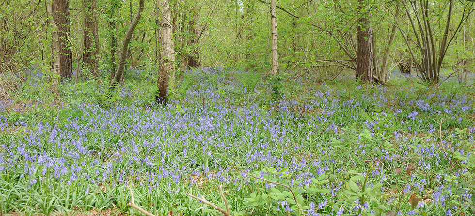 Bluebells in Skellingthorpe.JPG