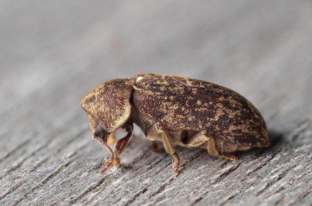 Adult male death-watch beetle