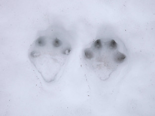 Mountain Hare footprints, Bleaklow
