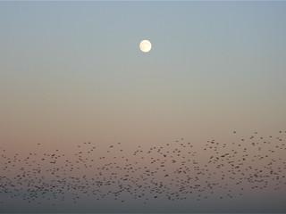 Roosting starlings, Otmoor, Oxfordshire