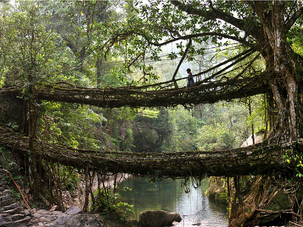 Living bridges in Meghalaya, northeast India