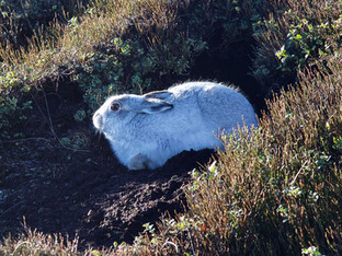 Mountain Hare, Bleaklow
