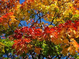 Sumac tree, Stockport