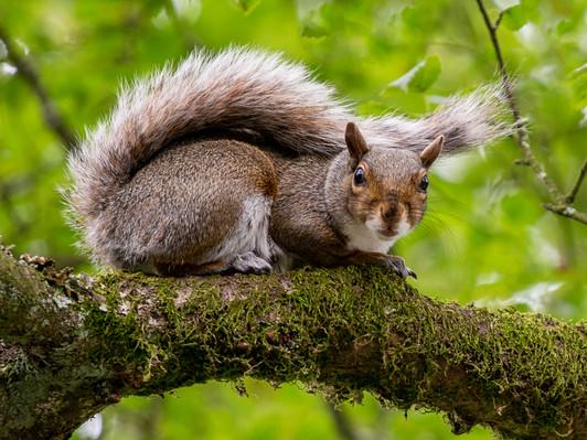 2019RFNHM_PDI_043 - Gray Squirrel -Cave Hill by Raymon Hughes.