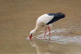 2019RFNHM_PDI_018 - White Stork Feeding by Raymon Hughes.
