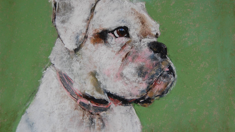 Layla The White Boxer Dog 2