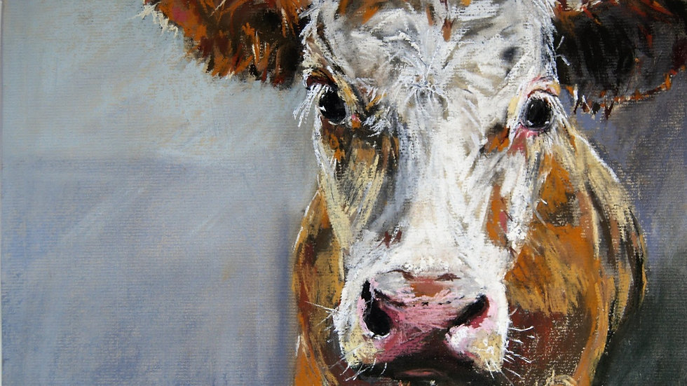 Melton Bull Calf