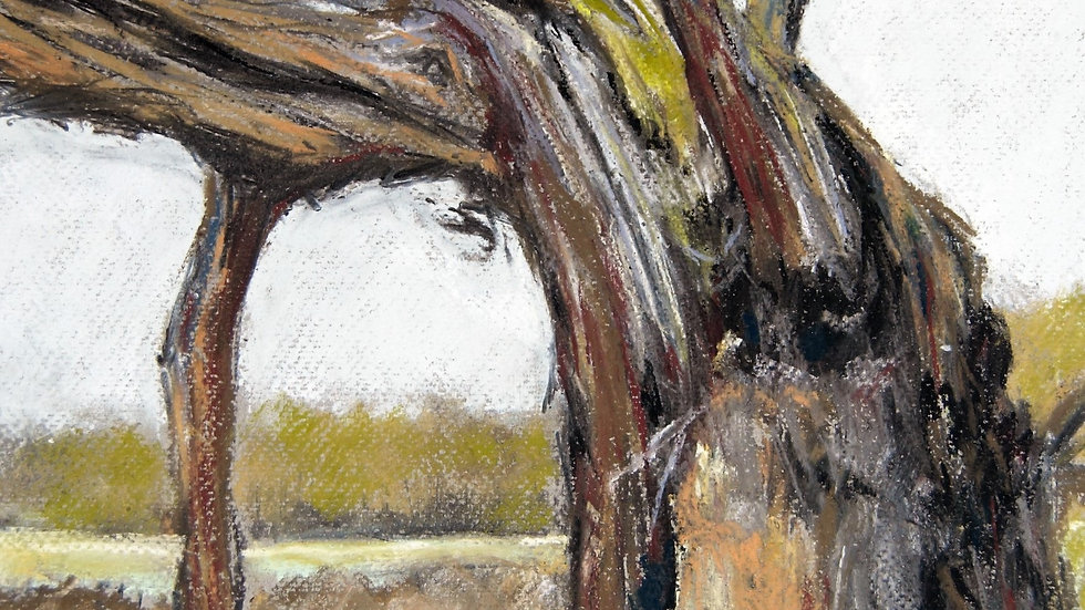 Old Weathered Willow