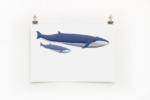 Blue Whales  |  Digital Print