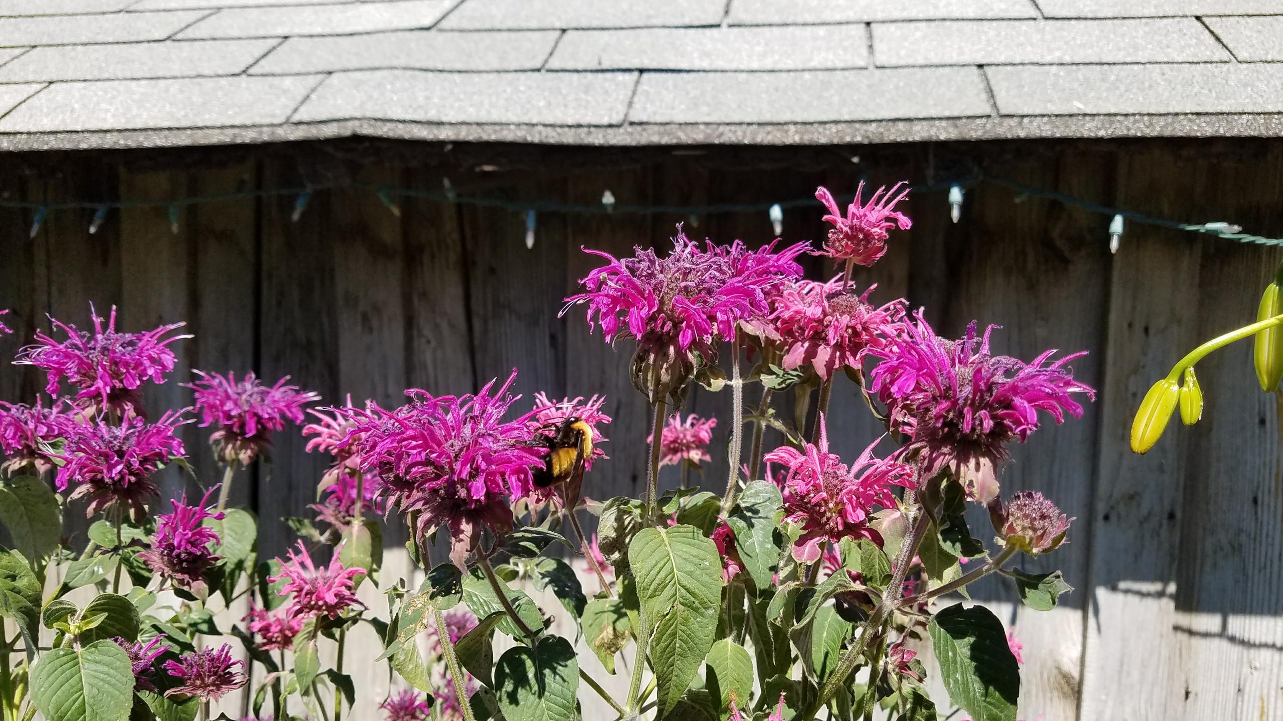 Bumble Bee on Bee Balm