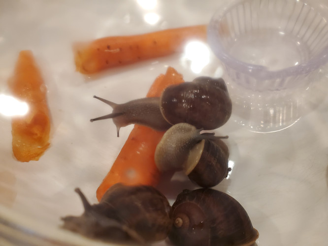 After you notice the droppings are orange, remove the carrots and continue to care for your snails exactly the same. Just don't feed them. After 4-5 days they will no longer leave droppings and they will be ready to eat!