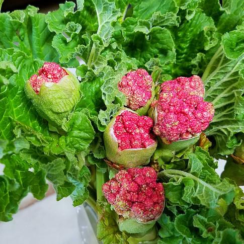 Victoria Rhubarb Sauce