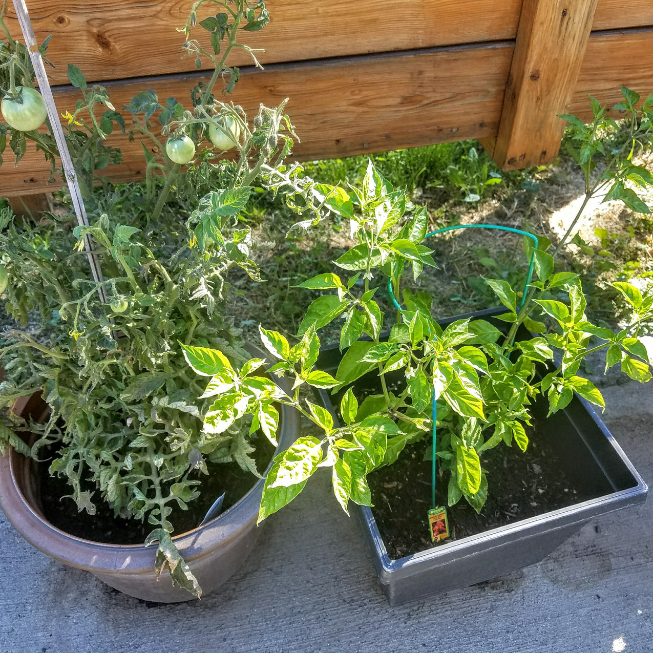 chilies and patio tomatoes
