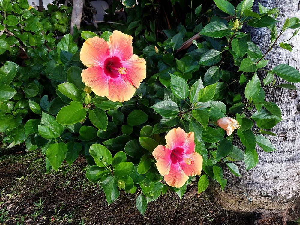 Hibiscus at Hale Mahina