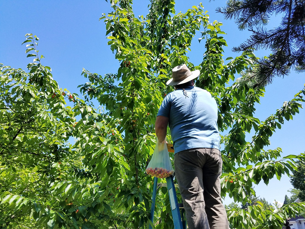 Harvesting Rainer Cherries