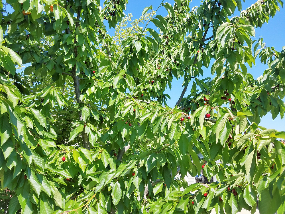 Cherry trees ready for harvest.
