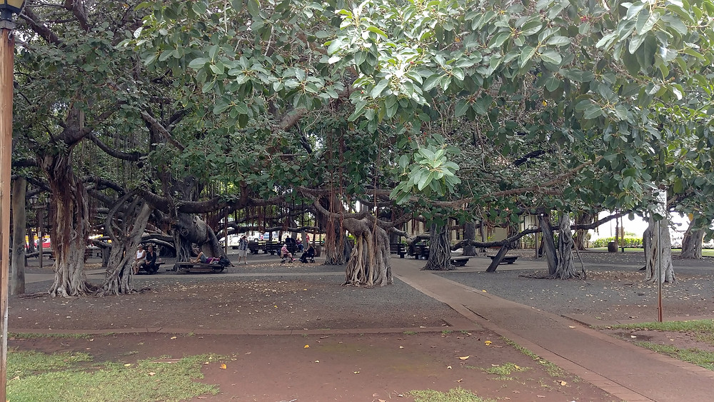 Banyan Tree, Lahaina, West Maui, HI